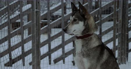 eskimo : Winter shot of husky dog sitting still in its open-air cage Stock Footage
