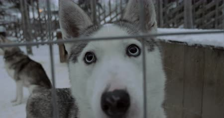 eskimos : Close-up shot of cute face of husky dog looking to the camera through the cage, winter shot