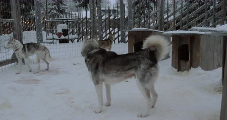eskimo : Husky dogs walking inside the open-air cage with kennels. Winter scene in Finland