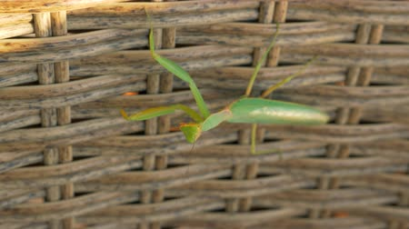 mantis : Close-up shot of praying mantis on wicker fencing Stock Footage