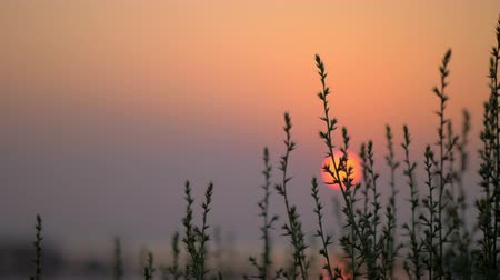 skarlátvörös : Nature scene in the evening. View though the grass to red sun going down