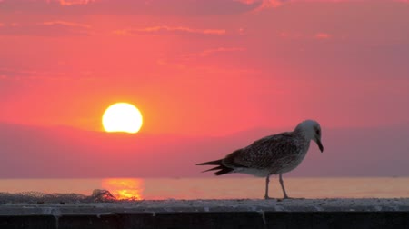 skarlátvörös : Slow motion shot of lonely seagull on the pier looking at sea. Bird on the background of water and evening sky with sunset