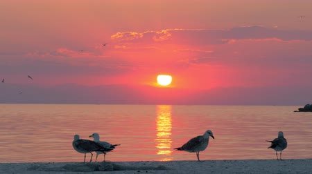 gaivota : Slow motion shot of several seagulls walking on the pier on the background of quiet sea and sunset. Golden sun path on water