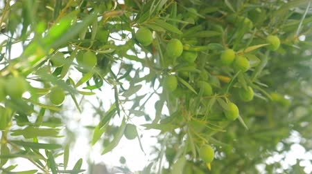 ulivo : Olive tree with lots of green fruits on branches against sun light. Agriculture and cultivation Filmati Stock