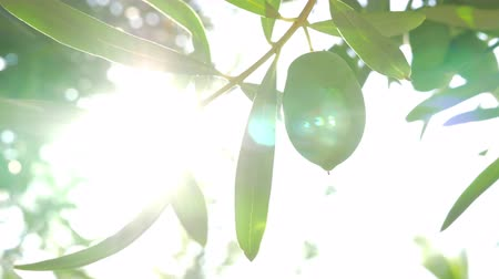 oliwki : Close-up shot of tree branch with green olives against the bright sun flare