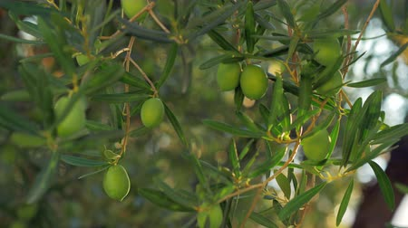 fruitful : Close-up shot of green olive tree branch in the garden in warm sunset light. Agriculture and cultivation Stock Footage