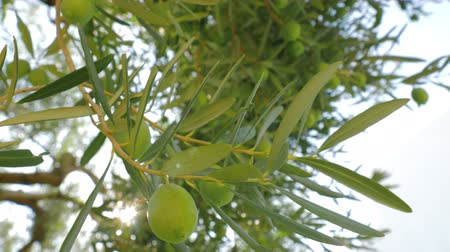 unripe : Close-up shot of green olives on the branch with following view to spreading fruitful tree in the garden, sun rays striking through the leaves Stock Footage