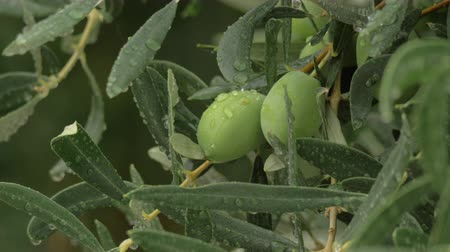 unripe : Close-up shot of olive tree branch under the rain. Pure water drops on leaves and fruit Stock Footage