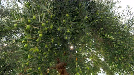 fruitful : In the garden. Coming up to the big wide-branching tree covered with green olives, bight sun rays shining through the leaves Stock Footage