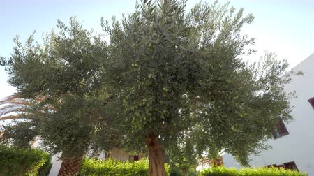 fruitful : In summer garden. Spreading tree with green olives covering the branches, sun rays striking through the leaves
