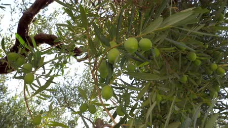 fruitful : Tree in the house garden, branches covered with green olives, view against the sky Stock Footage