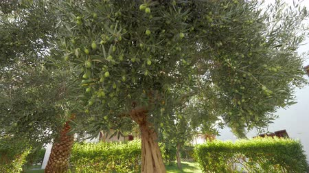 unripe : Big fruitful olive tree in green garden, sun shining through the branches