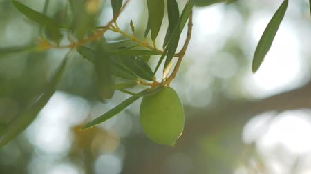 oliwki : Close-up shot of a tree branch with single green olive. View in sun light. Agriculture and cultivation Wideo