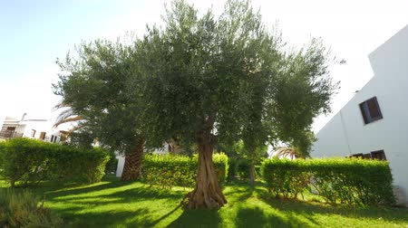 fruitful : Green summer garden near the house with big fruitful wide-branching olive tree. Bright sun shining through the leaves