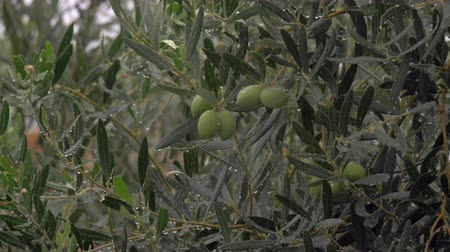 unripe : Rain pouring and watering olive tree in the garden. Pure drops on the branches and leaves