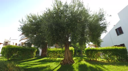 fruitful : Wide-branching olive tree covered with fruit in green house garden, sun rays striking through the branches Stock Footage