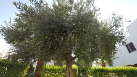 fruitful : Coming up to the olive tree in the garden with low angle view of its green branches and fruit, sun rays shining through the leaves Stock Footage