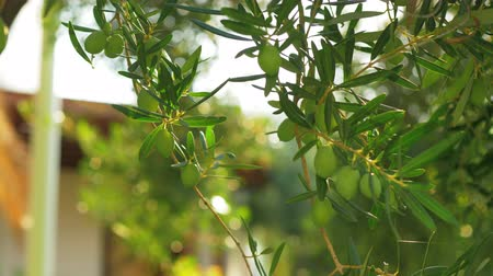 fruitful : Olive tree branch with unripe fruit against green house garden in sun light Stock Footage