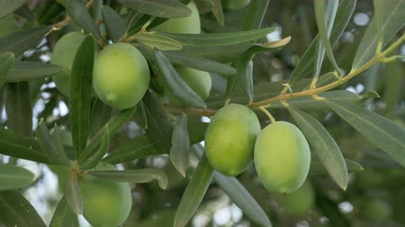 fruitful : Garden in the Mediterranean. Close-up shot of green olive branch. Farming and agriculture