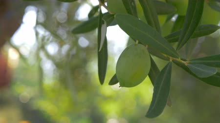 olivy : Close-up shot of green olive tree branch with blurred background of garden and house in Mediterranean Dostupné videozáznamy