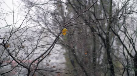geçen : Slow motion shot of autumn snowfall, view to the faded bare tree with last dry yellow leaves Stok Video