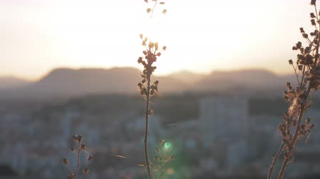 pókháló : Close-up shot of dry plant with threads of cobweb on the background of big city and mountains at sunset Stock mozgókép