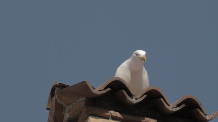 scavenger : Close up slow motion shot of a seagull squawking on an Italian tiled rooftop Stock Footage