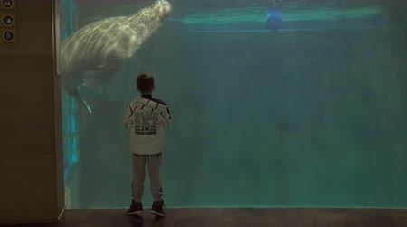 Wide shot of a young boy watching a manatee swim in his tank at an aquarium 影像素材