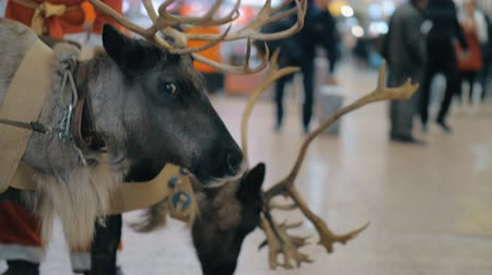 paroh : Creating Christmas holidays atmosphere at the airport with Santa Claus and his reindeer