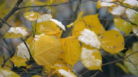 gałązki : Close-up shot of tree branch in autumn. Dry yellow leaves covered with first snow