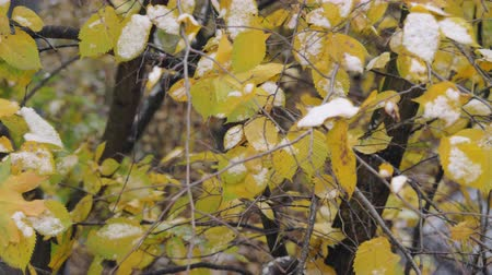 肌寒い : Slow motion shot of tree branches covered with first snow in autumn.