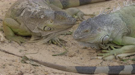 игуана : Two large specimens of green iguana eating plants from the ground