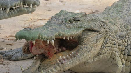fome : Close-up shot of crocodile eating prey. Predator with big piece of meat in the jaws with mighty sharp teeth