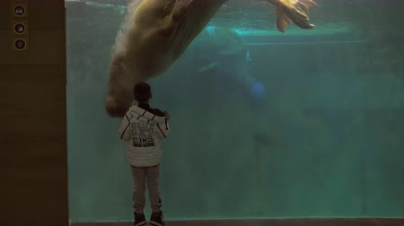 Slow motion shot of boy staring at two walruses swimming in aquarium and playing with ball 影像素材