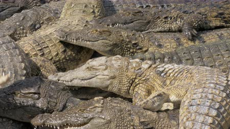 yırtıcı hayvan : Group of hungry crocodiles competing for food and trying get some meat Stok Video