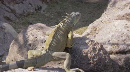 espécime : Large green iguana climbing the stones to find a nice place to warm up in the sun