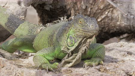 игуана : Close-up shot of big green iguana sunbathing on the stone Стоковые видеозаписи