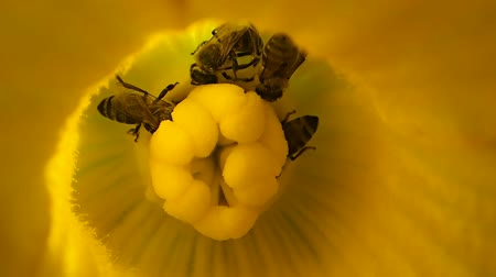 pszczoła : Four bees in a pumpkin flower