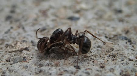 vadon : Ant fighting with a half ant
