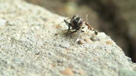 ant : Ant carring a fly