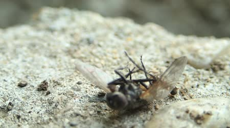 ants : Ant trying to carry a fly Stock Footage