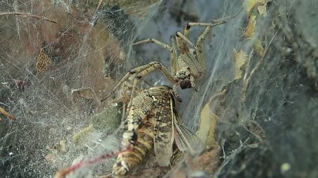 locust : Yellow funnel web spider near its prey Stock Footage