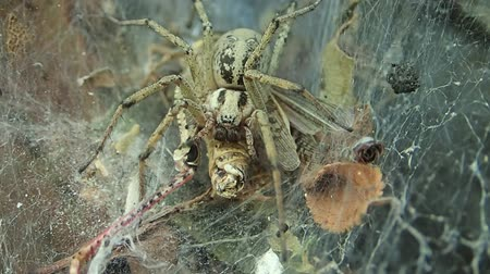 locust : Yellow funnel web spider eating a locust