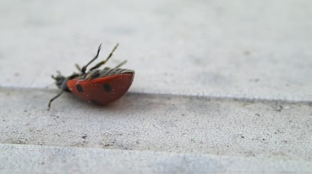 katicabogár : Seven dots ladybug turning on its legs
