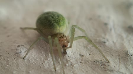 artrópode : Green spider cleaning one of its legs on a wall Vídeos