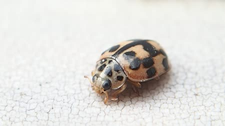 てんとう虫 : Pink ladybird trying to get cleaner 動画素材
