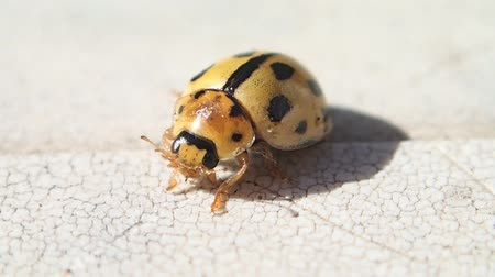 katicabogár : Yellow ladybird cleaning its legs and moving