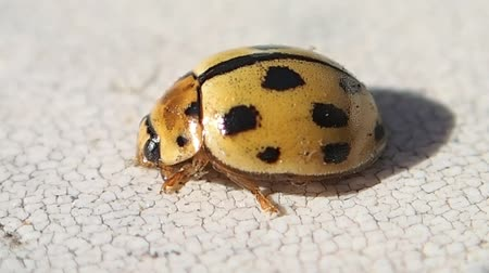 katicabogár : Yellow ladybird turning