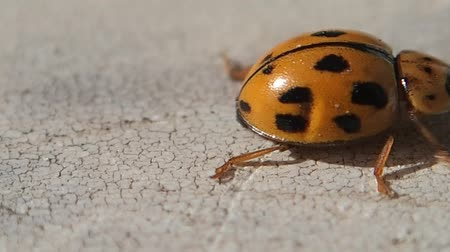 joaninha : Yellow ladybug going to the right