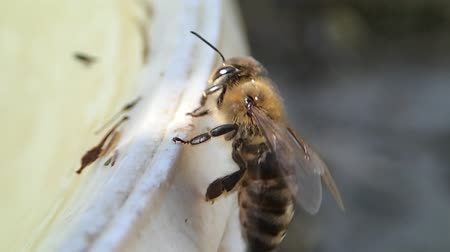 artrópode : Bee flying from the edge of a bucket